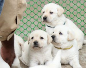 labrador puppy for sale in delhi