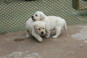 Labrador pup price in delhi