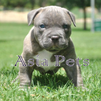 American Bully Puppy For Sale, American Bully Puppy For Sale In India, American Bully Pups For Sale, American Bully Puppies For Sale