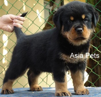 rottweiler puppy price in delhi